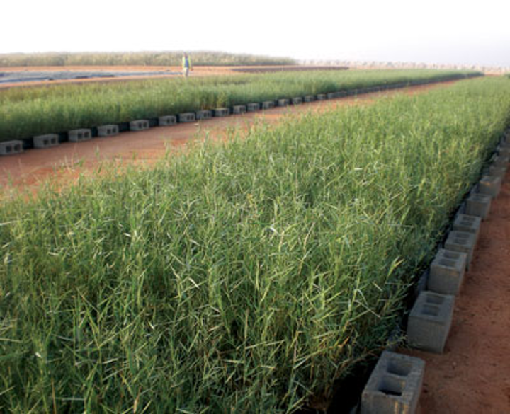News Oman Reed Bed