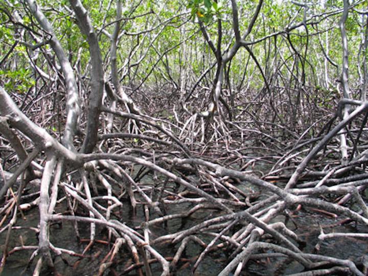 Content Dam Wwi Volume 31 Issue 3 Mangrove Plant