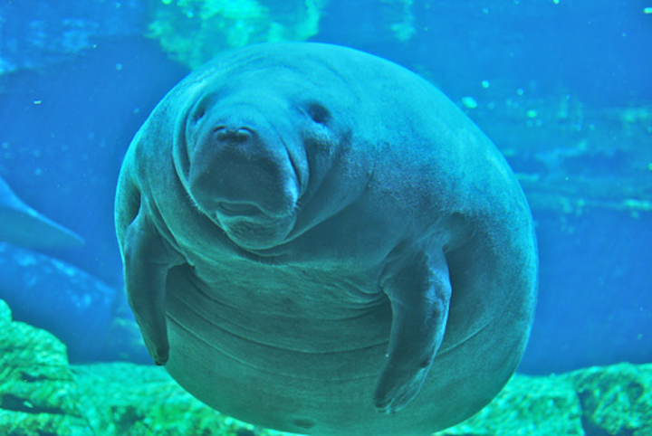 Content Dam Ww Online Articles 2016 12 Manatee At Sea World Orlando Mar 10
