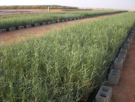 Oman Reed Bed